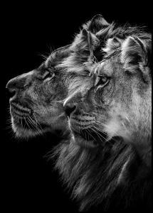 Lion and lioness portrait Plakat