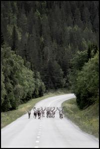 Reindeer road Plakat