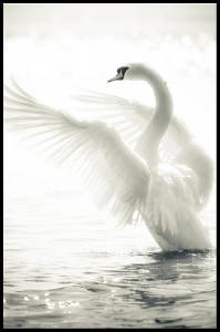 Swan Plakat