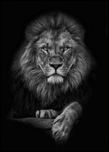 Focused lion Plakat