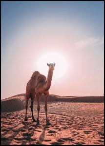 Camel Plakat