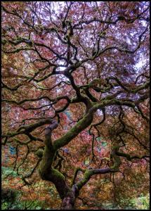 Japanese Maple Tree Plakat
