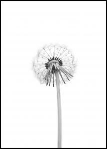Dandelion Plakat