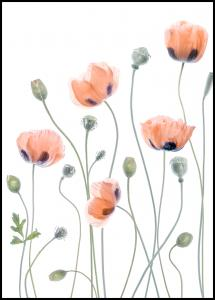 Poppies Plakat